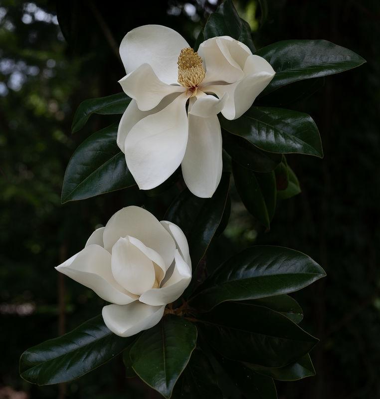 Magnolias,