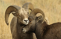Friends - Rams near ... /qanik/