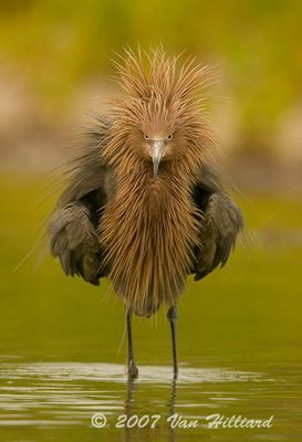 Reddish Egret With a New Do