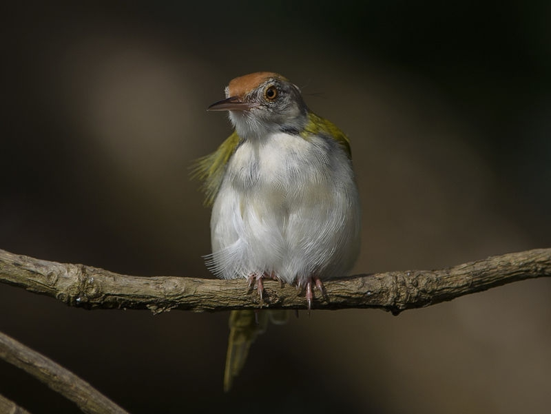 Tiny Common Tailor bird