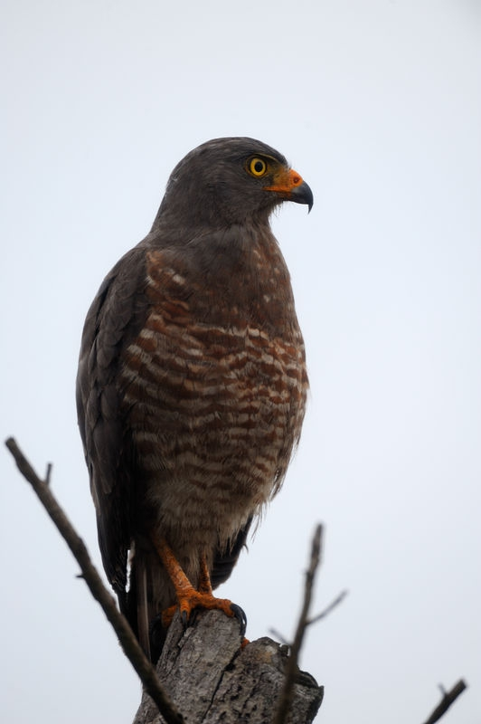 Roadside Hawk at Jaco, Costa Rico