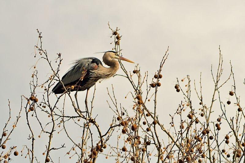 Contemplative Heron