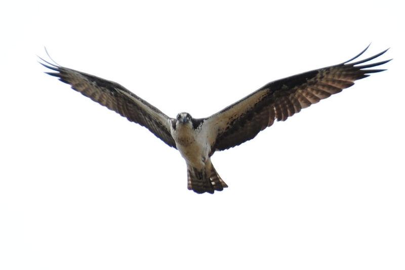 osprey...I see you.