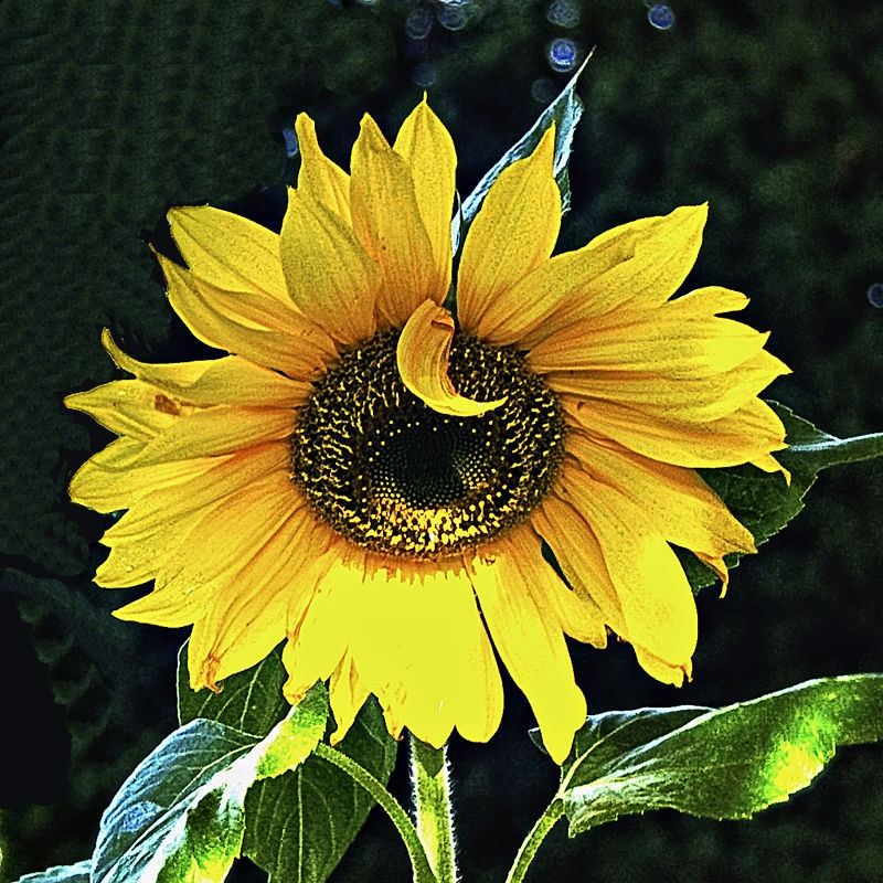 Sunflower_NIK_2