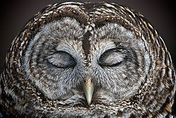 Barred Owl at Rest /RKB/