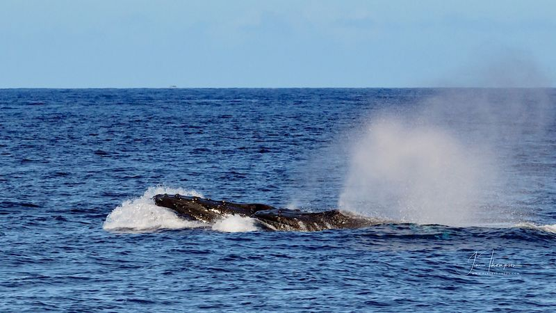 Bull Humpback Whales Competing