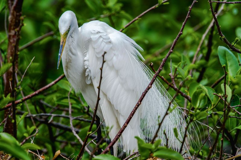 """Snow White""-Ardea alba-Great Egret"