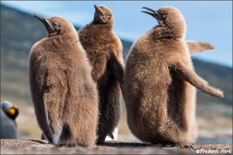 King penguin chicks playing