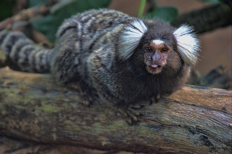 White-eared marmoset