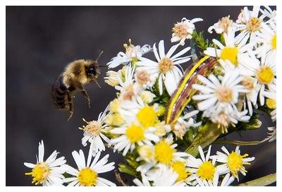 Bumble bee and caterpillar