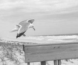 seagull_landing5570.tif