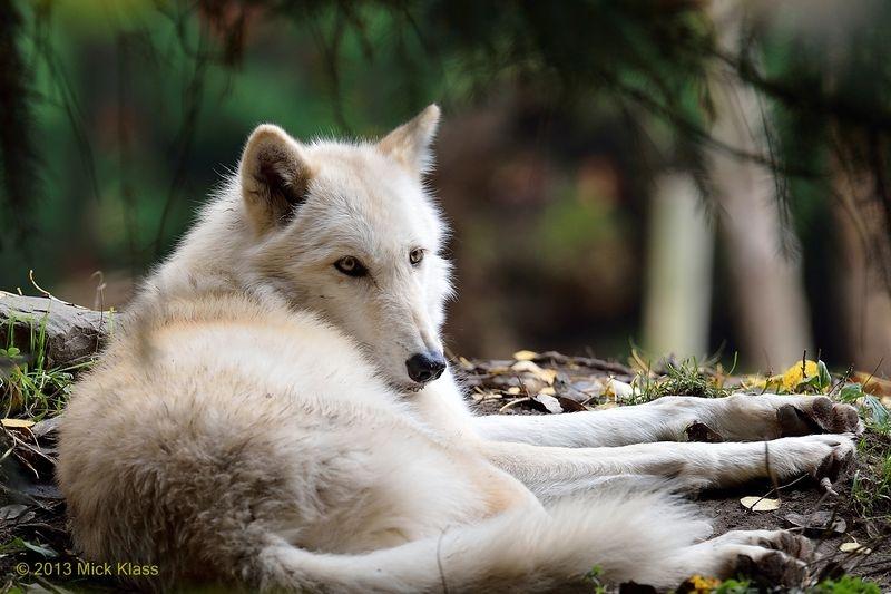 Seattle Wolf