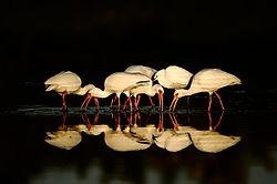 Ibis in early light (slopoki)