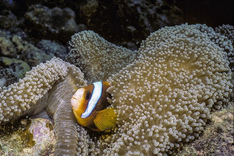 Clownfish, Lizard Island, Australia