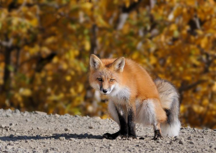 Red Fox - Posing for the Camera