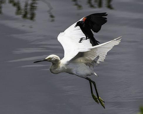 Black Bird Attack