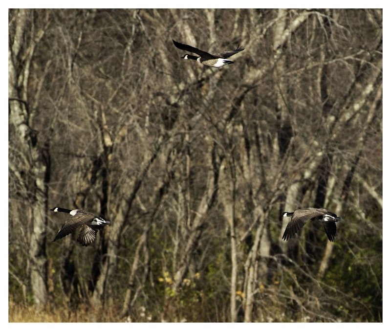 Geese Against Trees