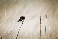 Red winged Blackbird /jesse101/