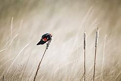 Red winged Blackbird (jesse101)