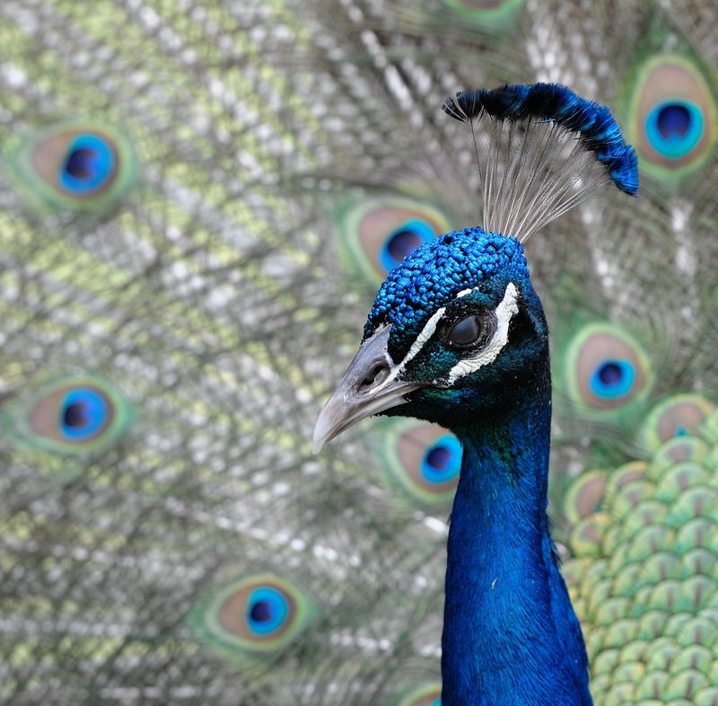 Peacock in the Asdastra Gardens - Nassau Bahama's