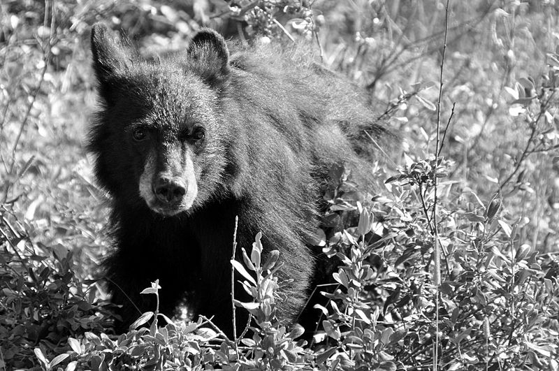 Black Bear Cub - Yellowstone