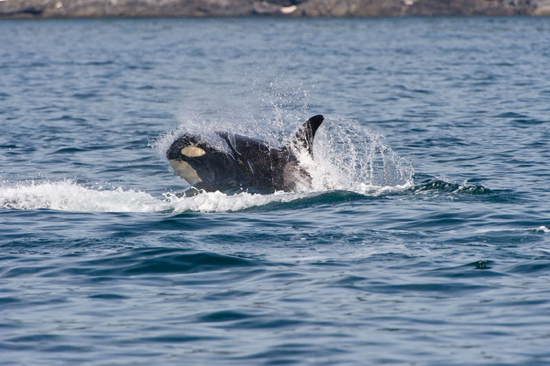 Orca 3SA4394