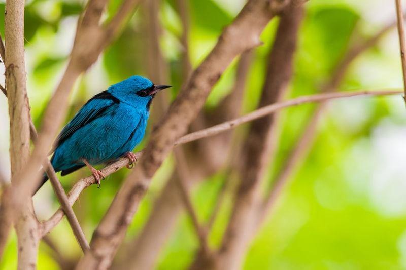 Blue Dacnis (Male)