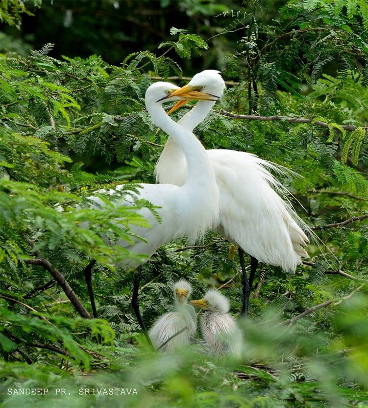 Happy Family: Egrets Loving with Chicks below...