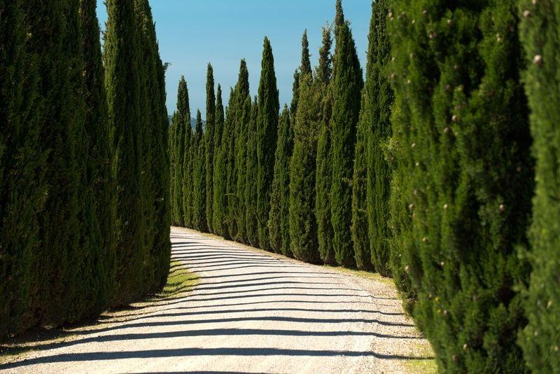Vinyard road cypress trees