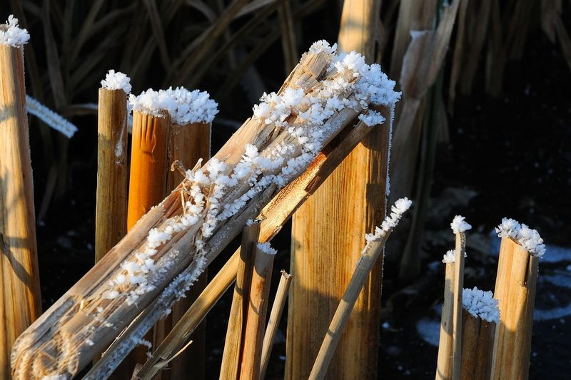 Icy reed