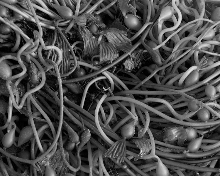 Spaghetti Kelp