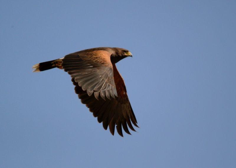 Coopers Hawk.