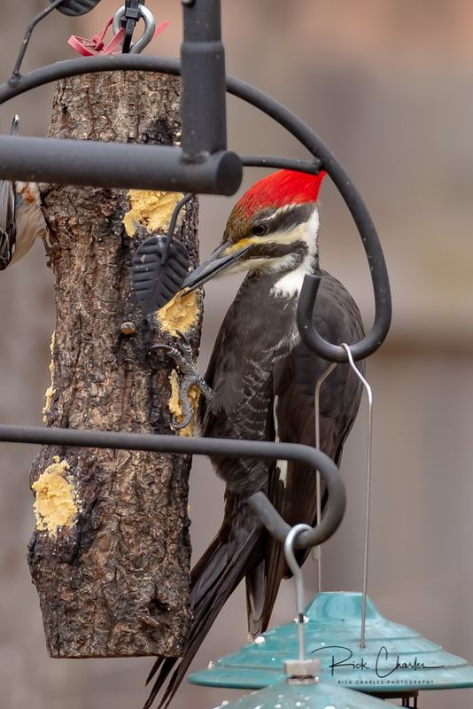Pileated woodpecker in thebackyard-3
