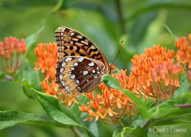 Great Spangled Fritillary Butterfly #1