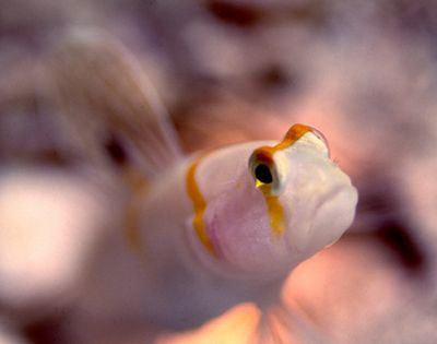 sailfin goby