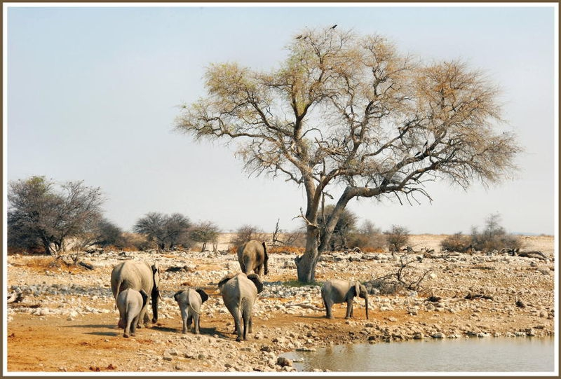 Elephant family at Okaukuejo waterhole.
