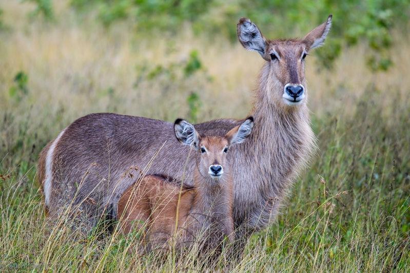 Waterbuck and foal