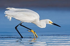 Winner December Wildlife Jack Backs (Jfbacks) -- jfbacks@charter.net Theme: Your Best Shot of 2017  Title: Hunting Snowy Egret   D500/500mmF4VRII/TC-14EIII