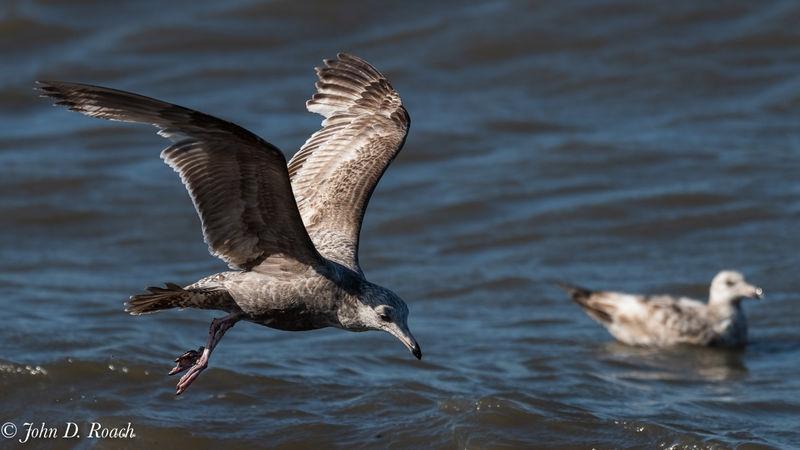 Incoming gull