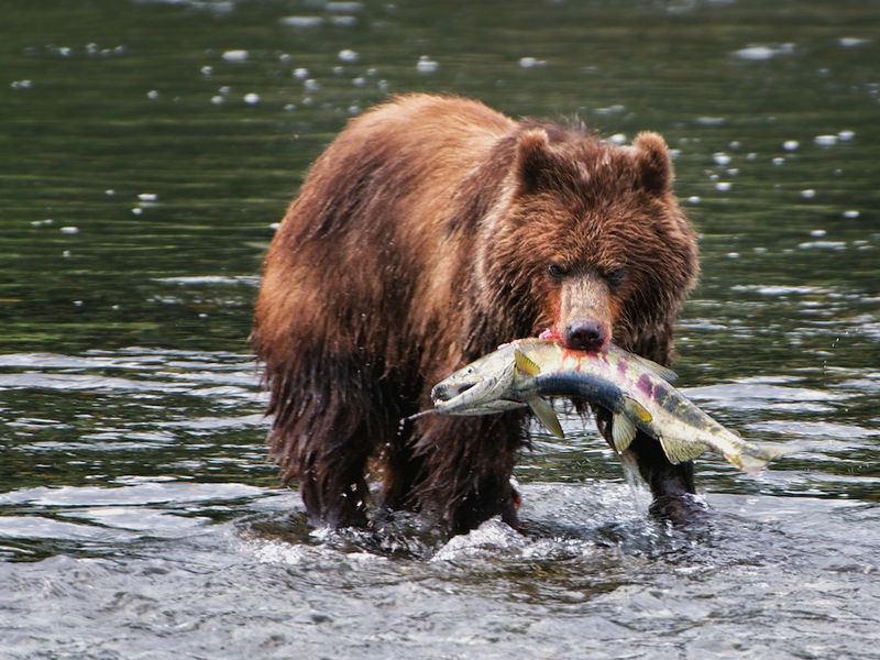Costal Grizzly Takes Chum Salmon to Bank