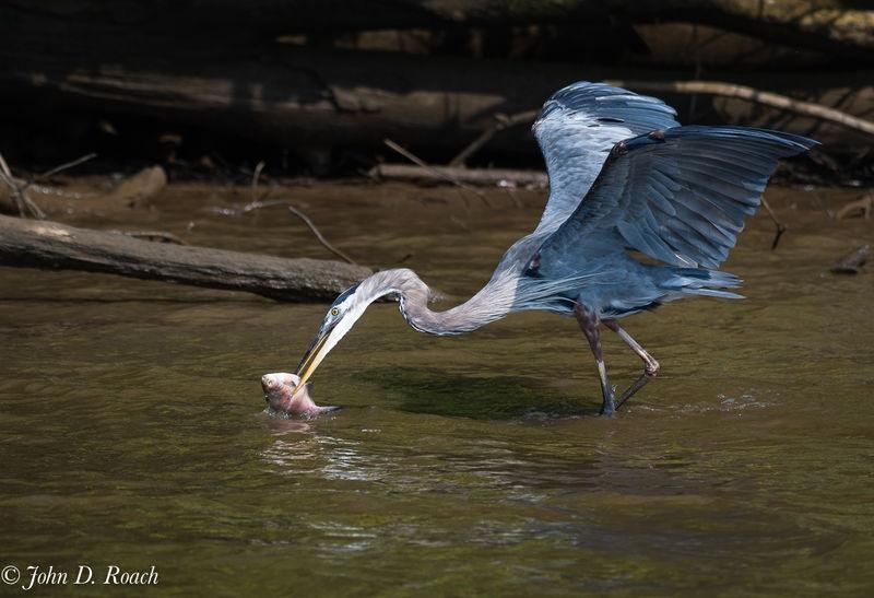 Great Blue Heron got the fish