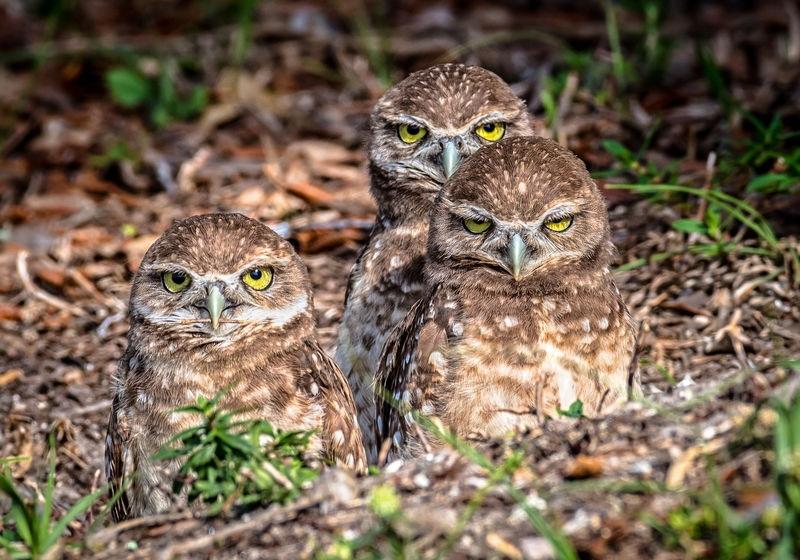 Burrowing Owlet Trio