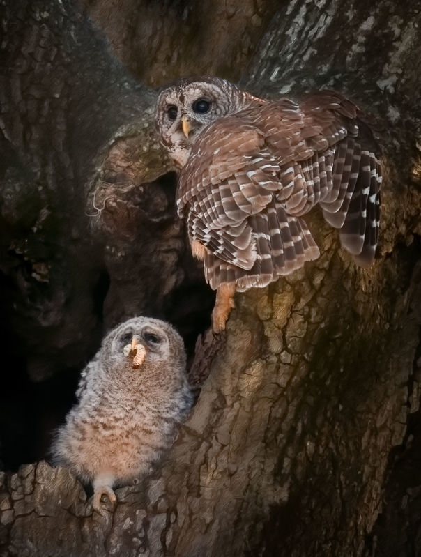 Barred Owl Parent and Chick