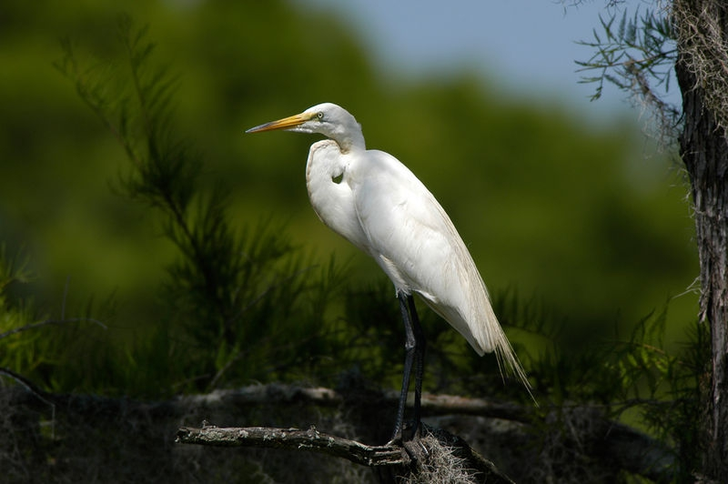 Egret in Caddo lake