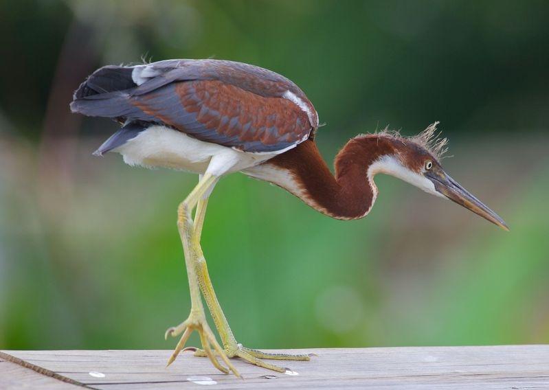 Egretta tricolor-A Juvenile Tricolored Heron