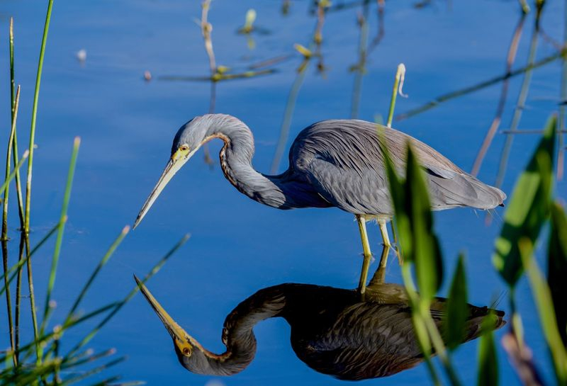 Egretta tricolor,A Tri colored heron,reflected in the afternoon sun!!!