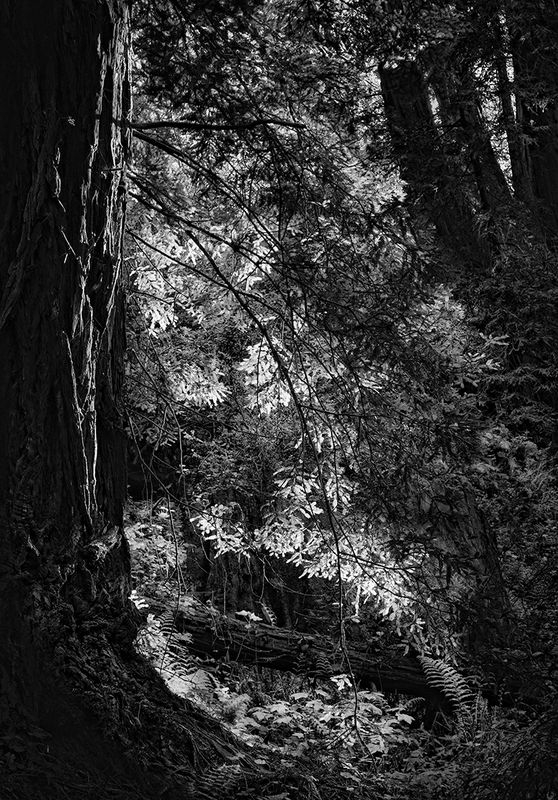 Forest Primeval B&W