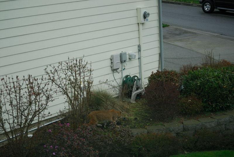 Neighborhood Bobcat