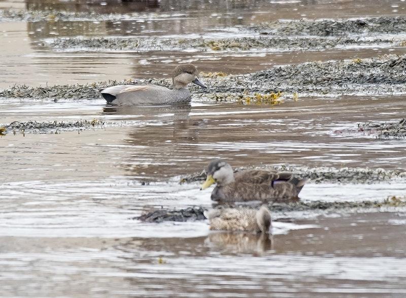Gadwall (Black Ducks foreground)