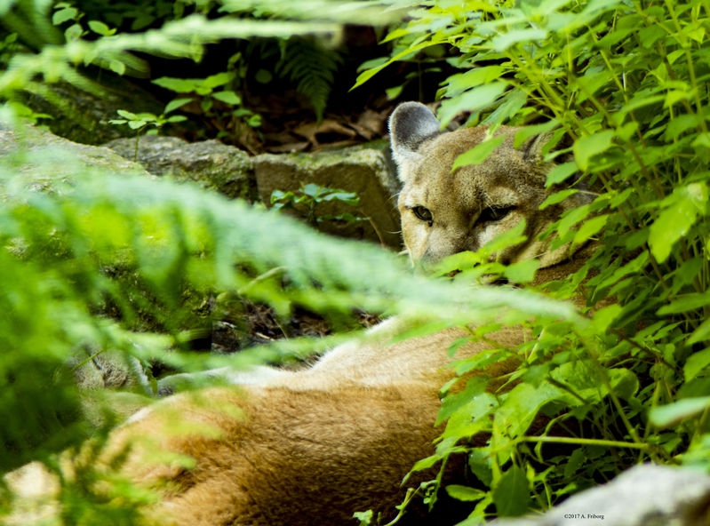 SLSC_MountainLion_July_12_2CR